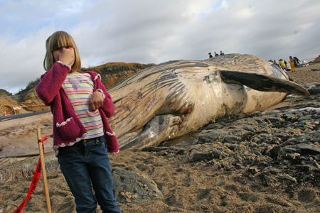dead whale at bean hollow